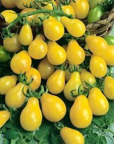 Yellow Pear Tomato Seeds - Lycopersicon Esculentum - 0.25 Grams - Approx 140 Gardening Seeds - Vegetable Garden Seed by Generic Seeds. $2.59. 0.25 Grams: Approx 140 Seeds. Germination Rate: 95% - Purity: 99% - Country of Origin: USA. Lycopersicon esculentum. Days Until Harvest: 70. Generic Seeds: The Same High Quality Seeds Made By Mother Nature Just in Cheaper Packaging. The Yellow Pear is a small cluster grown tomato grown on indeterminate vines. The mild tomatoes are a g...
