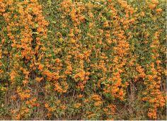 Cipó-de-são-joão ou flor-de-são-joão (Pyrostegia venusta): originária do Brasil, esta trepadeira produz flores alaranjadas e abundantes, durante o ano todo. Propaga-se por estaquia da ponta dos ramos. Necessita de sol pleno.