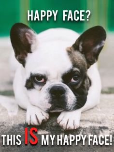 """""""happy face?""""....""""this IS my happy face!"""", funny French Bulldog❤️❤️"""