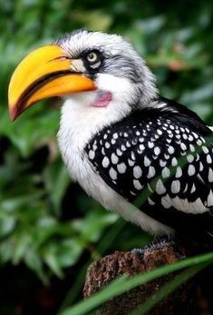Southern Yellow-billed Hornbill, found in southern Africa. Medium sized bird with long yellow beak. It reminds me of the biggest bird in angry birds Kinds Of Birds, All Birds, Little Birds, Love Birds, Pretty Birds, Beautiful Birds, Animals Beautiful, Exotic Birds, Colorful Birds