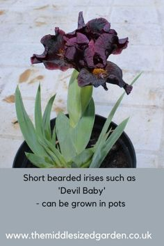 Do irises need sun? Can irises grow in pots? What plants grow well with irises? When to divide irises? Answers to your top questions on growing irises here. Chelsea Flower Show, Planter Des Iris, Black Spot On Roses, Growing Irises, Iris Rhizomes, Herbaceous Border, Short Beard, Bearded Iris, Water Plants