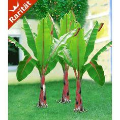 Winterharte Banane 'rot', 1 Pflanze - BALDUR-Garten GmbH
