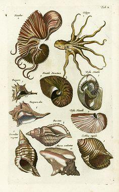 Nautilus Reg Price: $175 Sale Price: $135 Jonston Fish Prints, Shell Prints, Crab Prints, Lobster Prints, Jellyfish Prints, Sea Prints 1767
