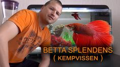Betta splendens vissen, ofwel Siamese kempvis, labyrintvis in aquarium Klein Aquarium, Siamese, Betta, Videos, Youtube, Youtubers, Video Clip, Siamese Cat