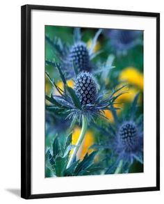 "'Eryngium Alpinum ""Blue Star"" (Sea Holly)' Photographic Print - Steven Knights | Art.com Steven Knight, Sea Holly, Plant Species, Botanical Art, Daffodils, Knights, Find Art, Framed Artwork, Bloom"