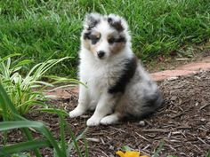 Our next one will be a blue merle like this...already have the name picked out...Paddy!
