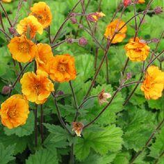 GEUM hybrid 'Carlskær' - Nellikerod, farve: orangegul, lysforhold: sol/halvskygge, højde: 35 cm, blomstring: juni - juli, god til bunddække, velegnet til snit.