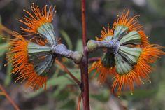 Eucalyptus chartaboma Myrtaceae