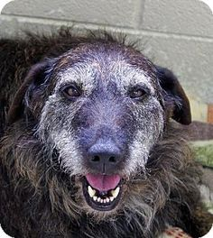 ** ACT QUICKLY - This is NOT a no-kill shelter. REX can be euthanized any time!!! ** Crossville, TN - Irish Wolfhound. Meet Rex, a dog for adoption. http://www.adoptapet.com/pet/11146552-crossville-tennessee-irish-wolfhound