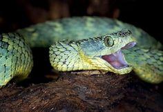 非州樹蝰美圖分享 - 毒蛇 爬行天下