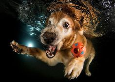 Espressione divertente di un cane sott'acqua che tenta di afferrare la pallina