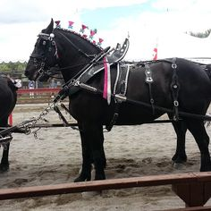 One of my favorite things about my company is their #percheron hitch. They are a product of #organicfarming and #organicskincare  and #alternativemedicine  An #essentialoils healthy horse. This is a picture from the pre #jousting show at #ylconvention last month  http://cherylsnider.com/