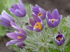 A nyugati kökörcsin (Pulsatilla vulgaris) gondozása - CityGreen. Plants, Plant, Planets