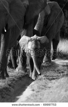 Elephant herd and calf in black and white by Jason Prince, via Shutterstock