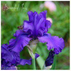 How to Plant Bearded Iris