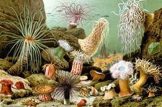 Sea Anemones. High quality vintage art reproduction by Buyenlarge. One of many rare and wonderful images brought forward in time. I hope they bring you pleasure each and every time you look at them.