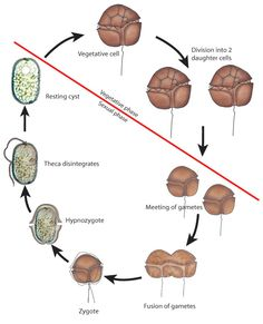 Dinoflagellates reproduce through cell division and due to their shells the offspring become smaller and smaller until they are forced to sexually reproduce.