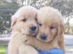 Pin by izzy johnson cali on golden retriever puppies Super Cute Puppies, Cute Baby Dogs, Cute Little Puppies, Cute Funny Dogs, Super Cute Animals, Cute Dogs And Puppies, Cute Little Animals, Cute Funny Animals, Doggies