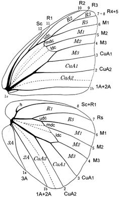 Figure 1: Wing venation of Appias (Catophaga) paulina, showing both the Comstock–Needham terminology and the numerical system (small ciphers) for the long veins. The short cross-veins closing the discal are notated according to common lepidopterological practice: upper, middle and lower discocelluar veins (udc, mdc, ldc). The cells are notated using the Comstock–Needham system only. Dotted lines in the discal cells indicate 'folds' (probable courses of proximal parts of veins M1–M3), and in…