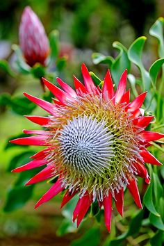 The king protea (Protea cynaroides) is a flowering plant. It is a distinctive member of Protea, having the largest flower head in the genus. The species is also known as giant protea, honeypot or king sugar bush. It is widely distributed in the southwestern and southern parts of South Africa in the fynbos region.