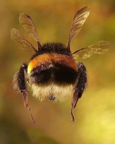 Aerodynamically the bee should not be able to fly lied - Deringa Beautiful Creatures, Animals Beautiful, Cute Animals, Cute Animal Photos, Animal Pictures, Bee Pictures, Buzzy Bee, I Love Bees, Bees And Wasps