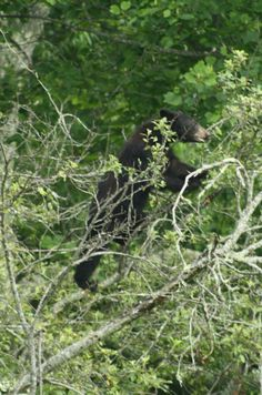 Black Bear in Apple tree at Cades Cove, Tenn.