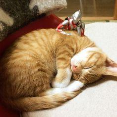ウルトラマンが見守る赤ちゃんネコの成長記録:ハムスター速報