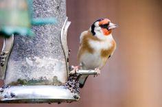 Jilguero comiendo Bird Feeders, Outdoor Decor, Animals, Home Decor, Goldfinch, Animales, Decoration Home, Animaux, Room Decor
