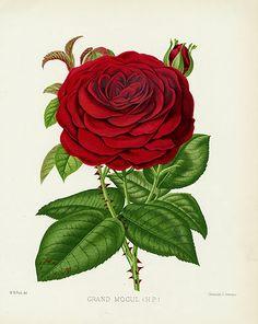 William Paul Rose Prints, The Rose Garden 1888 Grand Mogul Rose