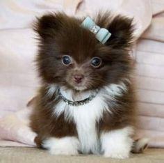 Teacup Pomeranian Puppy Prince