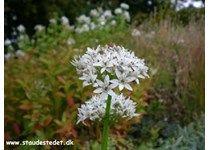 Allium tuberosum - Kinapurløg