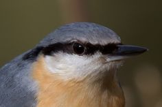 The Nuthatch - a fierce little bird  - will take on Woodpeckers 4 times its size for best position at the bird feeders.  Loves peanuts but will take pecans and walnuts from your hand. A real charmer.