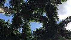 Assanhaço: Palmeira. Tiguera. Juiz de Fora, Minas Gerais, Brasil. IMG_55...