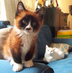 This kitten is a tiny red panda. - Imgur
