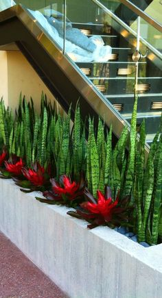 Snake plants and bromeliads make a strikingly beautiful combination in a planter alongside a modern glass staircase. .