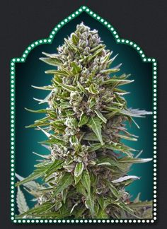 Northern light marijuana strain is a wonderful strong and beautiful marijuana strain. Cannabis smokers will have a wonderful experience smoking this type of weed. It grows very easy and the harvest will amaze you.