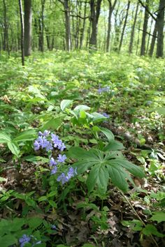 Woodland wildflowers at Coral Woods Conservation Area. Enjoy a colorful woodland walk at one of our many conservation areas. www.MCCDistrict.org