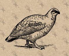 """Képtalálat a következőre: """"vintage partridge bird illustration"""""""