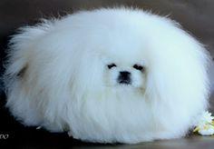 white pekingese dog Yorkies, Pekingese Puppies, Dogs And Puppies, Baby Animals, Funny Animals, Cute Animals, Tiny Monkey, Pekinese, Fu Dog