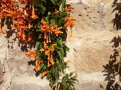 Pyrostegia venusta dressing sandstone beautifully, winter blossom, Curl Curl NSW