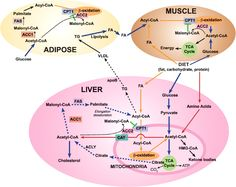 Carbohydrate Metabolism | Fatty acid metabolism: target for metabolic syndrome