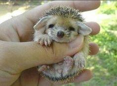 Baby porky pine