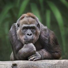 "Pensive gorilla. ""A la Rodin""- bysergei gladyshev. (Via earthlynation.tumblr.com)"