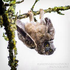 Great Horned Owlet, by Dennis Davenport