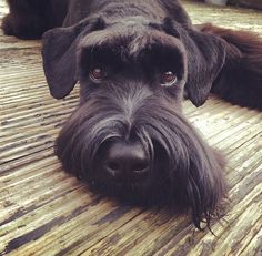 You'll experience life with a Schnauzer and you'll find out that there's no other with such remarkable intelligence. See why at http://boredomkicker.com