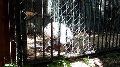 Piggy male Hamadryas Baboon (Zoo Bratislava)