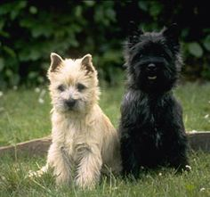 I can't have a dog just yet, but the Cairn Terrier is on my list of dogs I want!