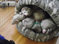 New Bravo Reality Show To Document Ferret Family At Home