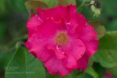 Rose by xylittina #nature #mothernature #travel #traveling #vacation #visiting #trip #holiday #tourism #tourist #photooftheday #amazing #picoftheday