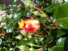 29 mai et ces roses qui se font belles